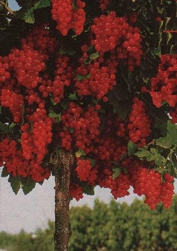 Красная смородина на штамбе